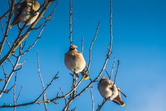 Waxwings on Winter Tree royalty free stock images