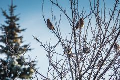 Waxwings on Winter Tree royalty free stock image