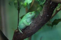 Waxy древесная лягушка обезьяны (sauvagii Phyllomedusa) Стоковые Изображения
