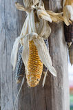Waxy corns hang in house Royalty Free Stock Photo