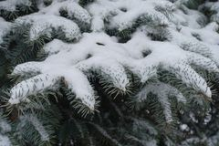 Waxy gray-green leaves of blue spruce covered with snow. Waxy gray green leaves of blue spruce covered with snow stock photo