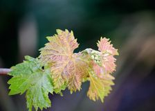 Waxy Green and Brown Young Grape Leave stock photography