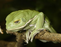 Waxy monkey frog Stock Photos