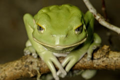 Waxy monkey frog Royalty Free Stock Image