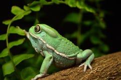 Waxy monkey frog(phyllomedusa sauvagii). Waxy monkey frog phyllomedusa sauvagii royalty free stock photography