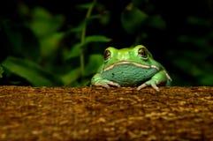 Waxy monkey frog(phyllomedusa sauvagii). Waxy monkey frog phyllomedusa sauvagii Stock Photography