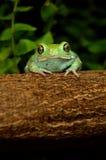 Waxy monkey frog(phyllomedusa sauvagii). Waxy monkey frog phyllomedusa sauvagii Stock Image