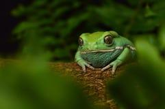 Waxy monkey frog(phyllomedusa sauvagii). Waxy monkey frog phyllomedusa sauvagii royalty free stock images