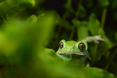 Waxy monkey frog(phyllomedusa sauvagii) Stock Photo