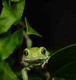 Waxy monkey frog(phyllomedusa sauvagii) Royalty Free Stock Photo