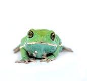 Waxy monkey frog(phyllomedusa sauvagii). Waxy monkey frog phyllomedusa sauvagii makro Royalty Free Stock Images