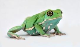 Waxy monkey frog(phyllomedusa sauvagii). Waxy monkey frog phyllomedusasauvagii makro stock image