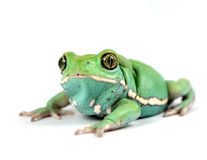 Waxy monkey frog(phyllomedusa sauvagii) Stock Photos