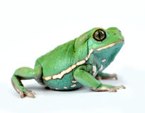 Waxy monkey frog(phyllomedusa sauvagii) Royalty Free Stock Photography