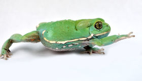 Waxy monkey frog(phyllomedusa sauvagii) Royalty Free Stock Photos