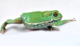 Waxy monkey frog(phyllomedusa sauvagii). Waxy monkey frog phyllomedusasauvagii makro Royalty Free Stock Photos