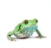 Waxy monkey frog(phyllomedusa sauvagii). Waxy monkey frog phyllomedusasauvagii makro Stock Images