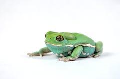 Waxy monkey frog(phyllomedusa sauvagii). Waxy monkey frog phylomedusa sauvagii makro Stock Photography