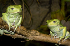Waxy Monkey Frogs Royalty Free Stock Image