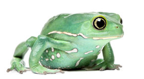 Waxy Monkey Leaf Frog, Phyllomedusa sauvagii. In front of white background royalty free stock images