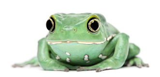 Waxy Monkey Leaf Frog, Phyllomedusa sauvagii. In front of white background Stock Photos