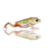 Waxy Monkey Leaf Frog on white background Royalty Free Stock Photos