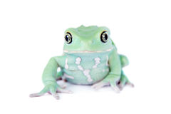 Waxy Monkey Leaf Frog on white background Royalty Free Stock Image