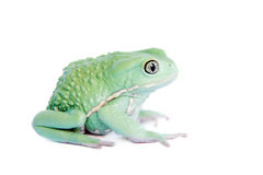Waxy Monkey Leaf Frog on white background Royalty Free Stock Photos