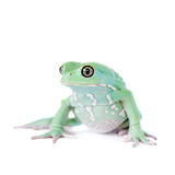 Waxy Monkey Leaf Frog on white background Stock Photo