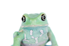 Waxy Monkey Leaf Frog on white background Royalty Free Stock Photography