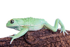 Waxy Monkey Leaf Frog on white background Stock Photography