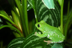 Waxy monkey tree frog Stock Photo