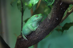 Waxy monkey tree frog (Phyllomedusa sauvagii). Stock Images