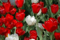 Waxy red and white tulips Stock Image