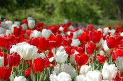 Waxy red and white tulips Royalty Free Stock Image