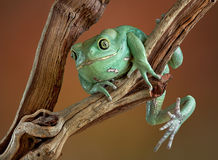Waxy tree frog on branch Stock Images