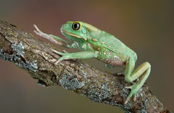 Waxy tree frog climbing Royalty Free Stock Photos