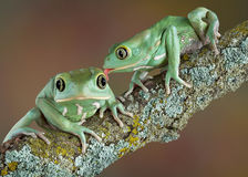 Waxy tree frog love Stock Images