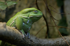 Waxy Tree Frog - Phyllomedusa sauvagii Royalty Free Stock Photography