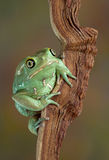 Waxy tree frog portrait. A waxy monkey tree frog is sitting on a branch looking at the camera stock photo