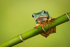 Waxy tree frog. Super Tiger Leg Monkey Frog balancing on a bamboo shoot also known as the waxy tree frog stock images