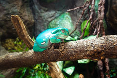 Waxy Tree Frog On Branch Stock Images - Image: 29072304