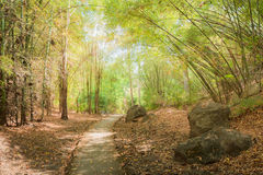 The way through the  bamboo forest in autumn season. - (In the wi Royalty Free Stock Photo