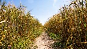 Way in barley field Royalty Free Stock Image