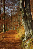 Way among beeches. Shiny way in beech forest in month November Royalty Free Stock Photography