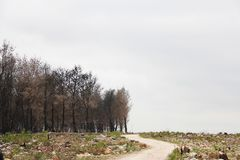 A way through a burnt pine forest after a fire stock photos