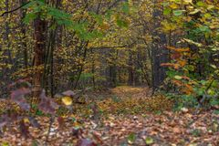 A way through the evening autumn forest. Around the trees with yellow leaves. Autumn road in the evening in a deciduous forest. There are a lot of yellow leaves Stock Photography