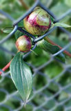 Way through fence. Peony buds coming through the fence Royalty Free Stock Image