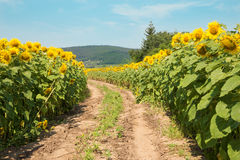 Way on field of sunflowers Royalty Free Stock Image