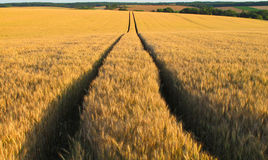 A way in fields of gold Royalty Free Stock Photo